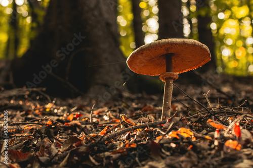 Fotografija Mushroom caught into the forest