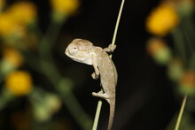A Chameleon Baby On A Green Plant In The Desert