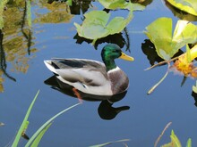 Beautiful Swimming Male Duck With Reflection In The Blue Pond With Water Plants Of The Bikás Park In Budapest, Hungary