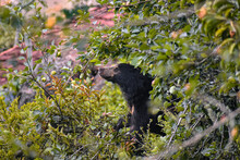 Sloth Bear - Captured During H...