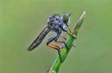 The Asilidae Are The Robber Fl...