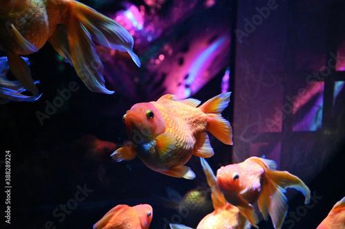 Fotografía 障子のある和風の水槽の中で泳ぐ日本の可愛い金魚達とライトアップ