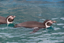 Two Humboldt Penguins Are Swim...