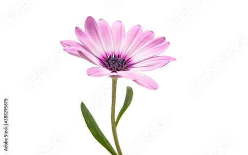 Fényképezés Osteospermum Daisy or Cape Daisy Flower Flower