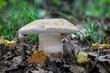 canvas print picture - Delicious edible mushroom Boletus reticulatus in autumn forest