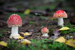 canvas print picture - Amazing Amanita muscaria in forest - poisonous toadstool
