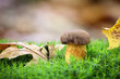 canvas print picture - Imleria badia commonly known as bay bolete in moss