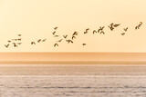 A group of northern lapwings is flying over a frozen farmland during sunset in winter in The Netherlands. - 388300241
