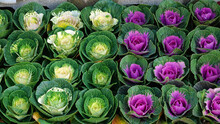 Colorful Ornamental Cabbage At...