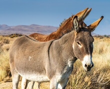 Image Of A Burro, Donkey And M...