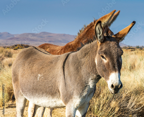 Fotografía Image of a burro, donkey and mule