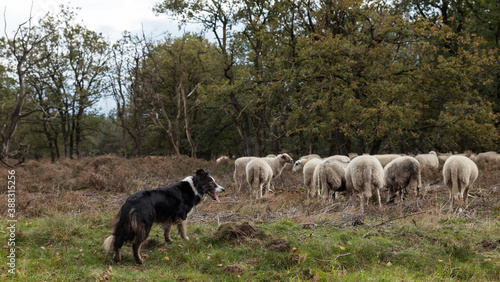 Foto a border collie lies on the ground while herding a flock of sheep