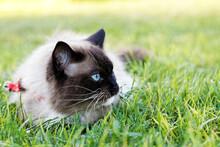 Blue-eyed Ragdoll Cat Lies In ...