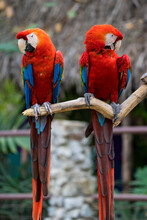 Red And Yellow Macaw