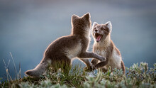 Two Arctic Foxes (Vulpes Lagopus) Fighting