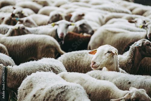 Foto Portrait de brebis dans son troupeau