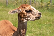 Beautiful Alpaca Chewing On A Blade Of Grass