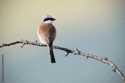 Red-backed shrike perched on branch at sunrise Wallpaper Mural