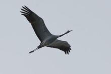 Common Crane (Grus Grus) Flying