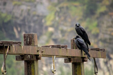 A Pair Of Crows Sitting On An ...
