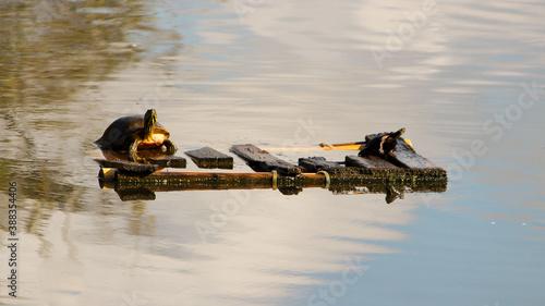 Photo turtles adrift on the lake