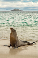 Seal On The Beach In Galapagos Islands, With Cruise Ship In The Background