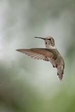 One Young Costa's Hummingbird Suspended Mid-air With Wings In Forward Position