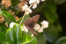 Meadow Brown Butterfly Pollinating A Flower In A Garden