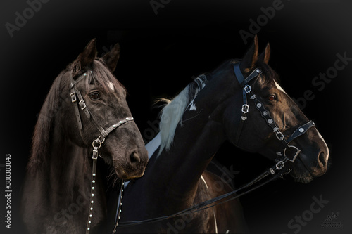 Cuadros en Lienzo 2 Pferde vor dunklem Hintergrund