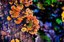 Parasitic Fungus On The Trunk