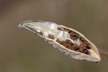 Milkweed Seed Pod Opening In T...