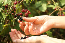 Woman Picking Blackberries Off Bush Outdoors, Closeup