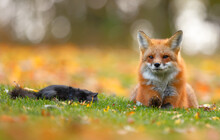 Red Fox Resting Close To Its P...