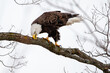 canvas print picture - Bald Eagle (Haliaeetus leucocephalus) perching on branch rubbing its beak with tongue showing in central Wisconsin