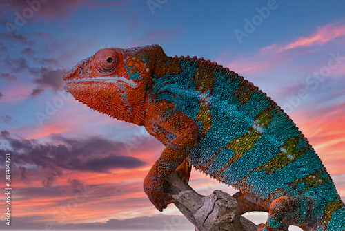Fotografija Panther Chameleon with sunset background