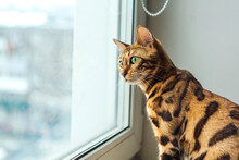 Cute Golden Bengal Kitty Cat S...