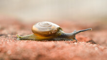 Garden Snail Or Land Snail Or ...
