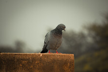 Pigeon On The Wall