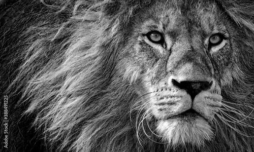 portrait of a lion Fotobehang