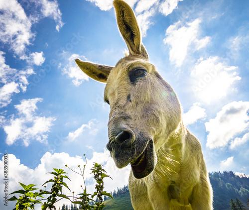 Tela nice donkey at the european alps