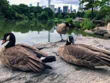 Canadian Goose In Central Park