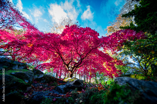 stunning pink tree in autumn with a great contrast with the background blue sky and green trees