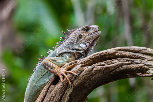 Fotografija Iguana one of the many reptiles of Costa Rica