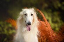 Beautiful Russian Borzoi Dog I...
