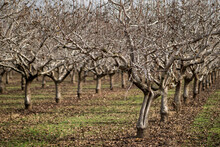 Chilly Trees In An Orchard