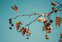 Brown Color Plane Tree Leaves And Fruits Isolated On Blue Sky Background