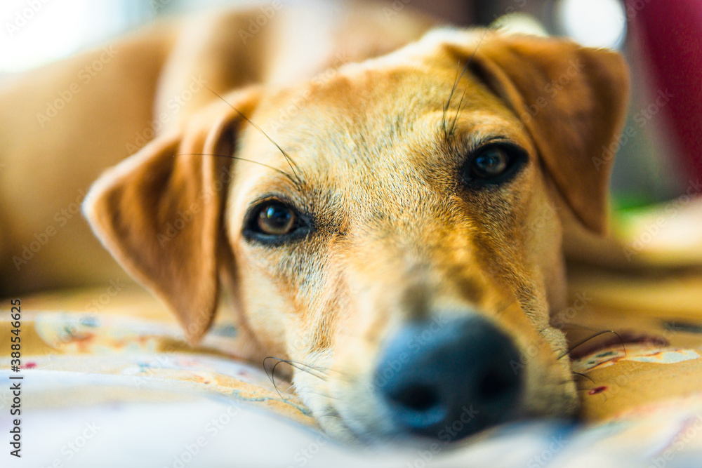 Fototapeta portrait of a dog relaxing in the house on his blanket looking at the camera with his trustworthy eyes