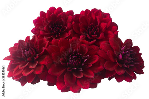Cuadros en Lienzo Large burgundy dahlias isolated on a white background