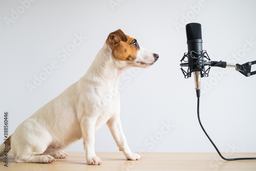 Obraz Jack russell terrier dog and professional microphone on a white background - fototapety do salonu