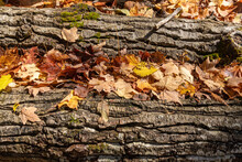 Two Fallen Trees Covered With ...